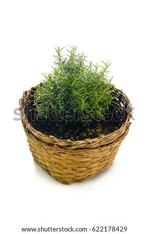 rosemary plant #622178429