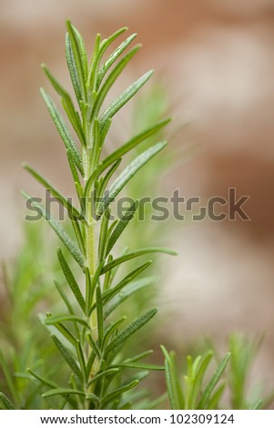 Rosemary plant in the garden