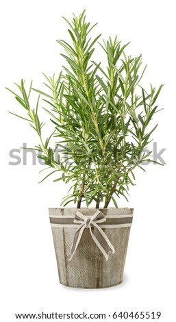 rosemary plant in vase isolated on white background #640465519