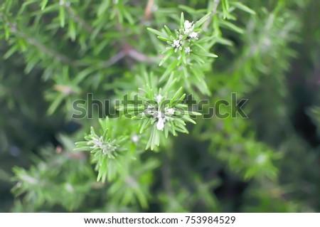 rosemary plant ,rosemary leaf #753984529