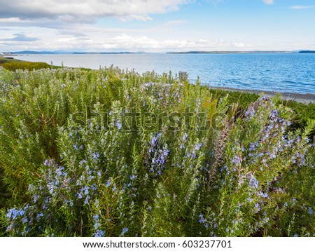 Rosemary plant (Rosmarinus officinalis) blossoming with fragrant blue flowers, growing at the ocean shore Stock photo ©