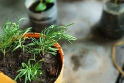 Rosemary trees planted by cuttings in pot
