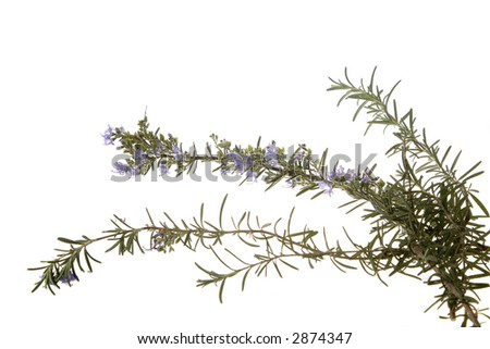 Rosemary twigs with blossoms on isolated background