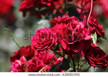 Roses #628081490