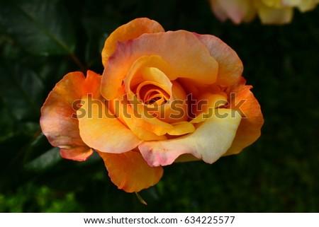 Roses #634225577