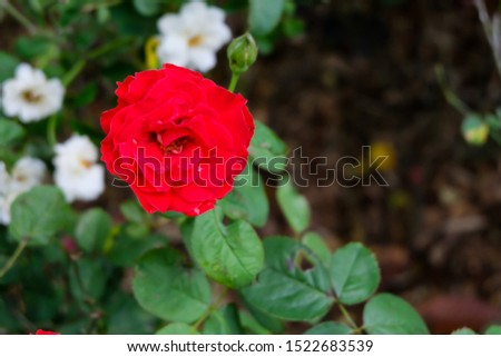 Roses. Are one of the most planted flowers in the world. People like to plant for beauty, decorate the garden, decorate home, grow for commercial such as to extract perfume as a component of the spa. #1522683539