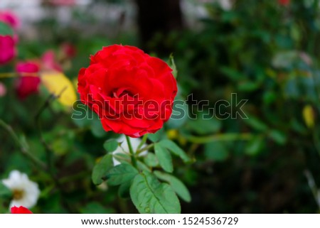 Roses are one of the most planted flowers in the world. People like to plant for beauty, decorate the garden, decorate home, grow for commercial such as to extract perfume as a component of the spa. #1524536729