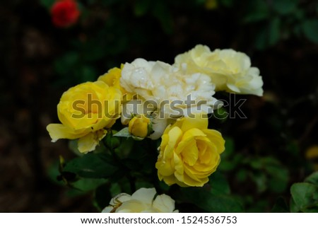 Roses are one of the most planted flowers in the world. People like to plant for beauty, decorate the garden, decorate home, grow for commercial such as to extract perfume as a component of the spa. #1524536753