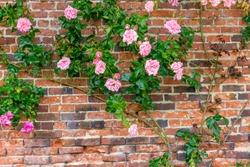 Roses bush on brick wall