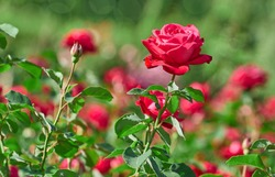 Roses flowers blooming in roses garden. Nature