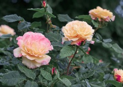 Roses garden flowering. Pink and yellow rose flower bloom on a background of blurry roses.