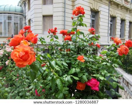 Roses garden in Nice, France