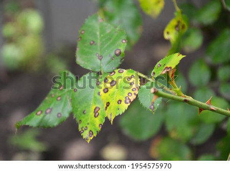 Roses growing and caring. Fungal rose black spot disease. Black spots on rose's green and yellow leaves infected by a rose disease.