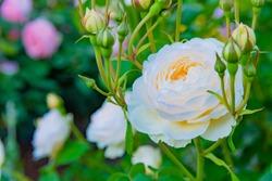 Roses in a park in Yokohama City, Kanagawa Prefecture