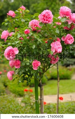Roses in garden #17600608