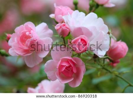 Roses in the garden - stock photo