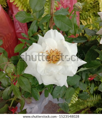 Roses is one of the most popular flowers grown in the world, originating from Asia. People like to plant for beauty, decorate the garden, decorate the house, decorate the place. #1523548028