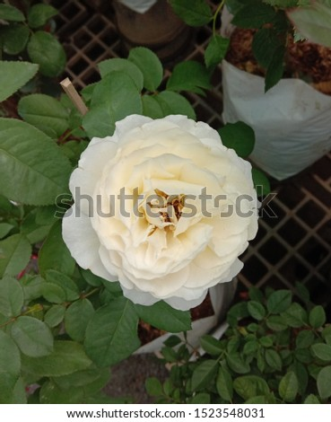 Roses is one of the most popular flowers grown in the world, originating from Asia. People like to plant for beauty, decorate the garden, decorate the house, decorate the place. #1523548031