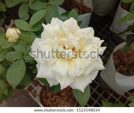 Roses is one of the most popular flowers grown in the world, originating from Asia. People like to plant for beauty, decorate the garden, decorate the house, decorate the place. #1523548034