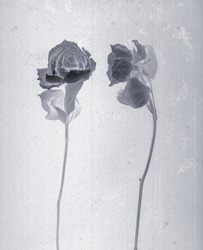 Roses isolated. Daguerreotype style. Film grain. Vintage photography. Botanical negative x-rays scan. Canvas texture background. Vintage, conceptual, old retro aged postcard. Black and white, gray.