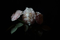 Roses isolated on black background, dark moody floral composition in baroque artistic rembrandt lighting style, fine art design