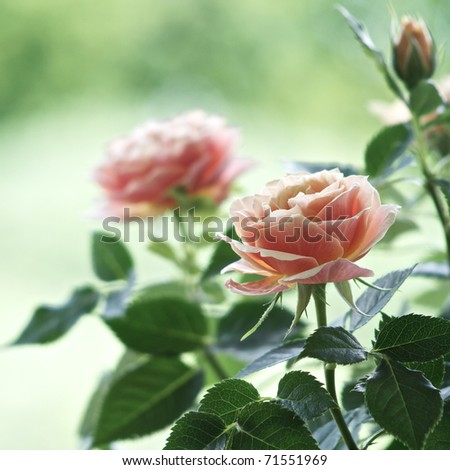 Roses on a bush in a garden. Shallow DOF