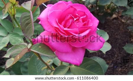 Roses, Roses, Roses #611086400