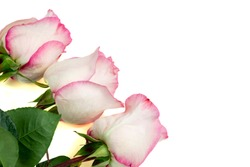 Roses. Three white pink roses. Flowers are isolated on a white background.
