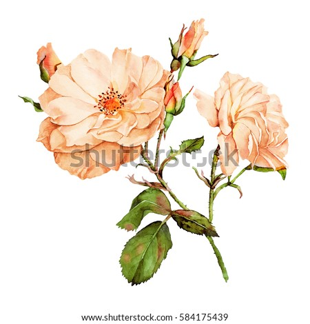 Roses watercolor illustration