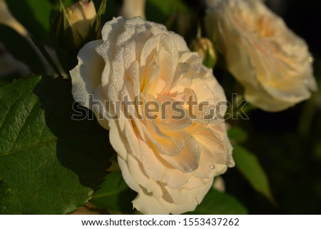 "roses white-yellow ""Pastella"" as background. Roses in warm sunlight and dew with sunlight in the morning #1553437262"
