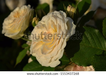 "roses white-yellow ""Pastella"" as background. Roses in warm sunlight and dew with sunlight in the morning #1553437268"
