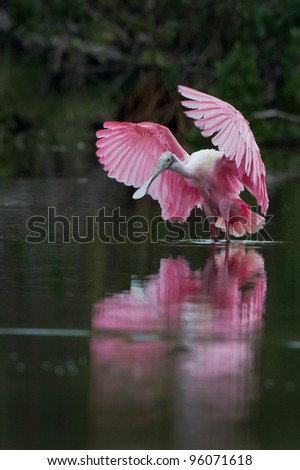 Rosette spoonbill wings spread
