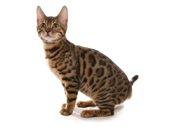Rosetted Bengal Kitten isolated on a white background