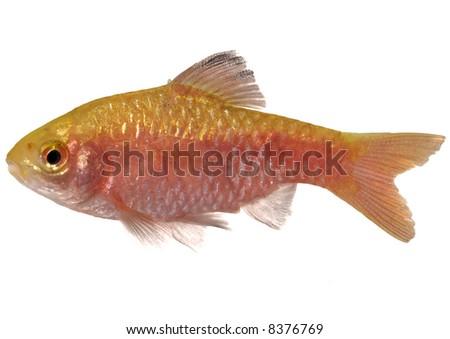 Rosy Barb ( Puntius conchonius)