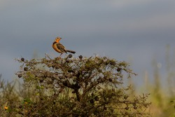 Rosy Breasted Longclaw, Nairobi National Park