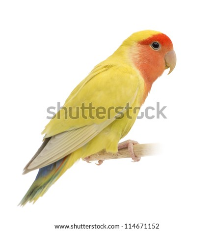 Rosy-faced Lovebird, Agapornis roseicollis, also known as the Peach-faced Lovebird against white background - stock photo