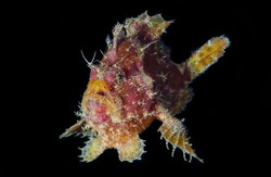 Rosy Frogfish Blackwater Diving Underwater Photo