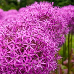 Rosy Garlic is a beautiful sight with its elegant, exquisitely-scented clusters of pale to rich pink, star-shaped flowers