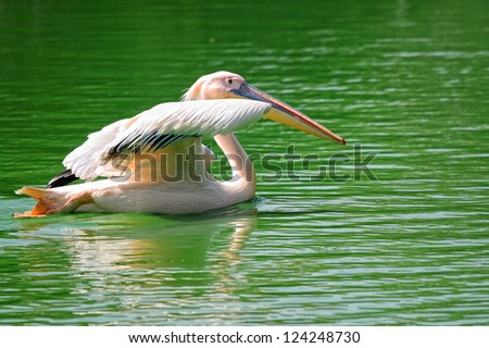 Rosy pelican in green pond about to fly