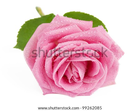 Rosy rose with leaves and water drops closeup isolated on white background