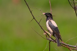 Rosy starling, Sturnus roseus, Pastor roseus. The bird sits on the branches of a thorny bush on a green background