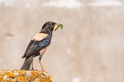 Rosy Starling Sturnus roseus, sitting with insects in its beak.