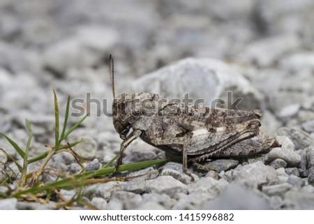 Rotfluegelige Schnarrschrecke - weibchen, Psophus stridulus, rattle grasshopper - female #1415996882