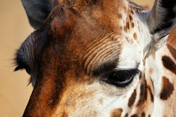 Rothschild giraffe (Giraffa camelopardalis rothschildi). Close up of the eyes of a Rothschild giraffe. Space for text.