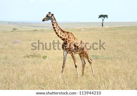 Rothschild giraffe in  the wild ,Kenya