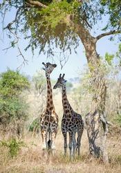 Rothschild Giraffes  (Giraffa camelopardalis) hid from the sun in an acacia tree  shadow.  Uganda (Africa)