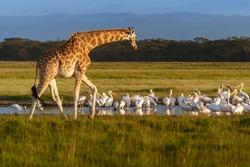 Rothschild's Giraffe (Giraffa camelopardalis) and pelicans in Lake Nakuru National Park, Kenya