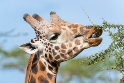 Rothschild's Giraffe (Giraffa camelopardalis rothschildi), portrait, feeding on an acacia tree, Lake Nakuru National Park, Kenya, Africa