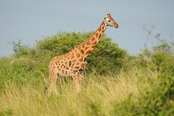 Rothschild's Giraffe in Muchison Falls national park Uganda