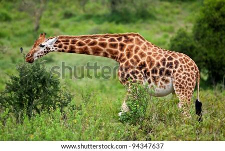 Rotschild's giraffe (Camelopardis Rotschildi) in Lake Nakuru National Park, Kenya